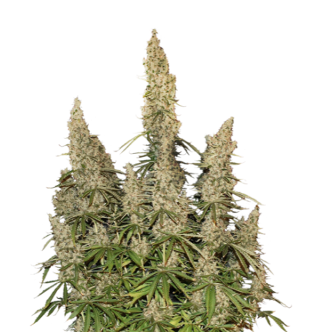 Auto Afghan Mass Feminised