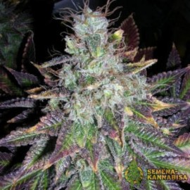Auto Blueberry Bliss Feminised