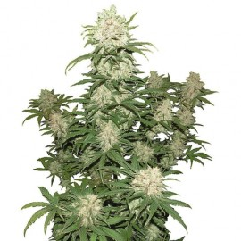 Auto White Russian XXL Feminised