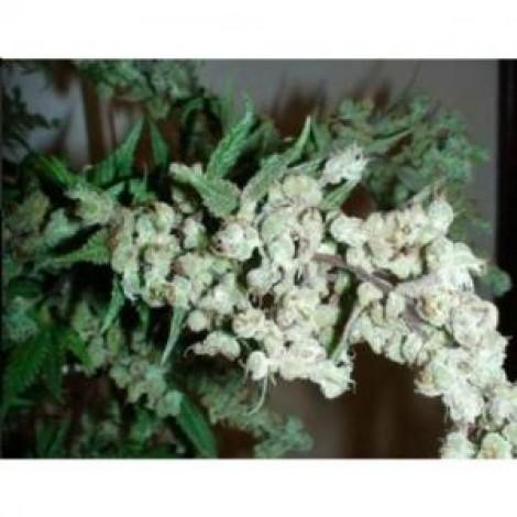 Auto Dr. Grinspoon семена конопли: фото, отзывы, описание