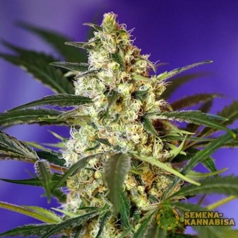 Auto Fast Bud семена конопли: фото, отзывы, описание