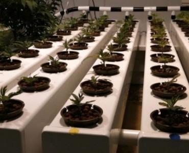 Идеальное место для гидропонной установки – балкон. Что нужно знать при выращивании каннабиса на лоджии?