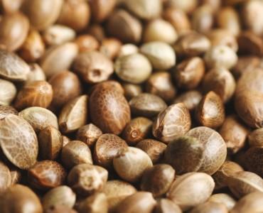 Как понять, что перед тобой качественные семена каннабиса
