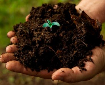 Как посадить семена конопли в открытом грунте