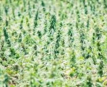 Правила выращивания каннабиса аутдор
