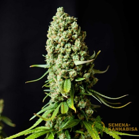 Skunk Feminised семена конопли: фото, отзывы, описание
