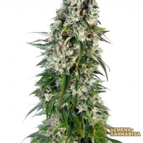 Big Bud семена конопли: фото, отзывы, описание