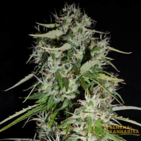 Fast Bud семена конопли: фото, отзывы, описание