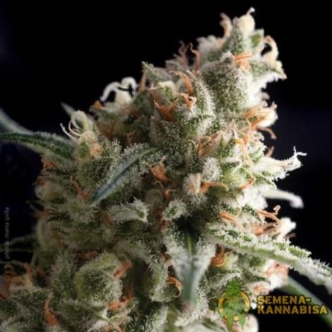 Super Hash семена конопли: фото, отзывы, описание
