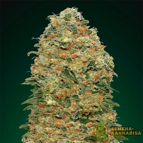 White Widow семена конопли: фото, отзывы, описание